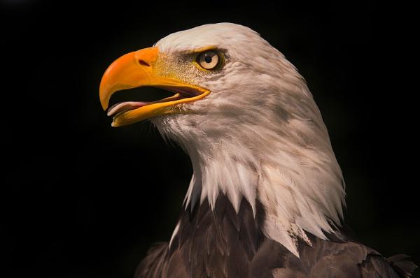 Bald Eagle Portrait by Chrism8