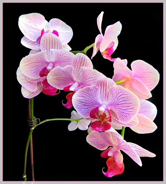 Orchid by Sylviwhalley