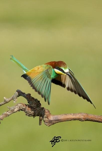 Bee-Eater in Flight by lyntonB
