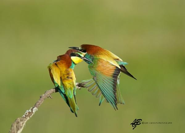 Bee-Eaters Preening 2 by lyntonB