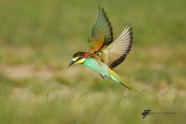 Bee-Eater in Flight 6 by lyntonB