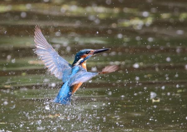 Kingfishers from Ryemeads by NeilSchofield