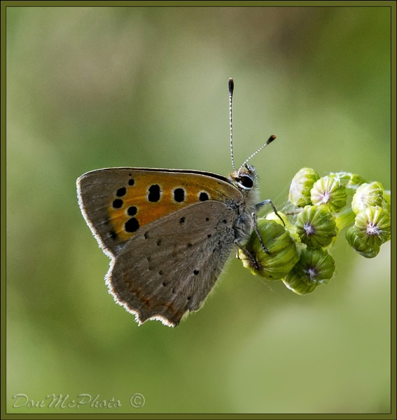 Small Copper (Lyceana phlaes) (II) by DonMc