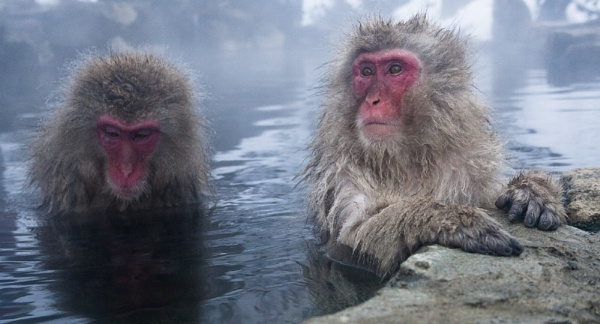 Macaque Pair by rontear