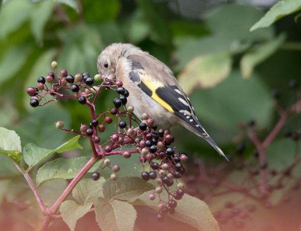 Goldfinch by rsjkinson