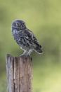 Juevenile Little Owl by johnjo58