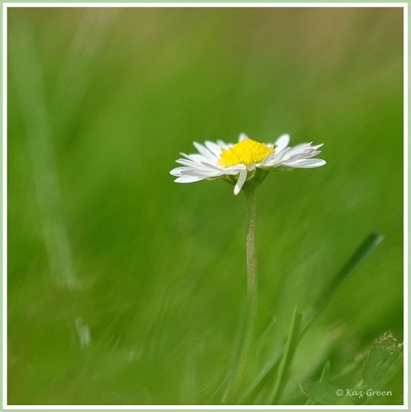 Daisy by kaz1