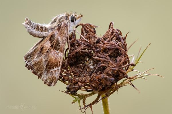 Mallow Skipper - Carcharodus alceae by Mendipman