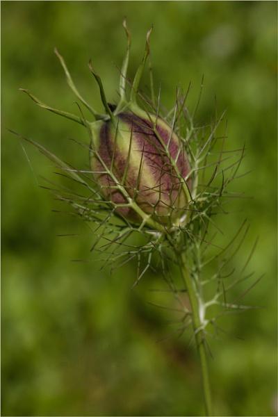 Nigella Seedhead by DicksPics