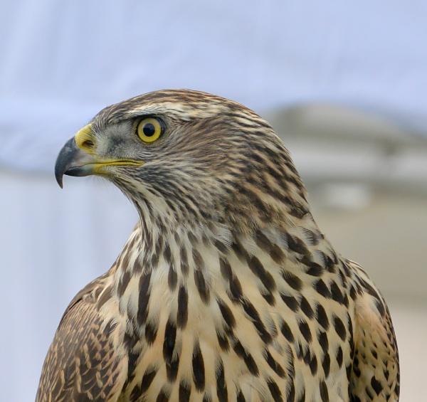 Bird of Prey by Suzicoo
