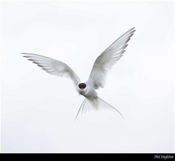 Angelic Tern by PhilSingleton