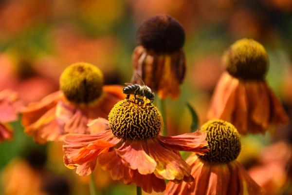 Bee on Sneezeweed by ColleenA