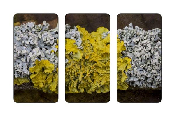 2 Lichens, 1 twig by pwfoto