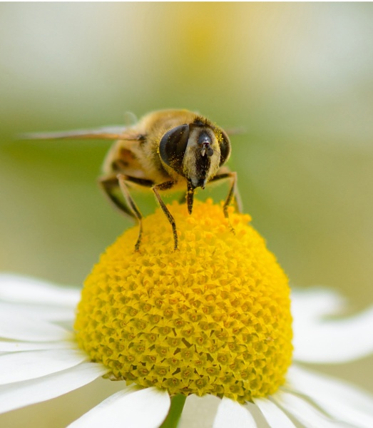 Bee by Danny1970