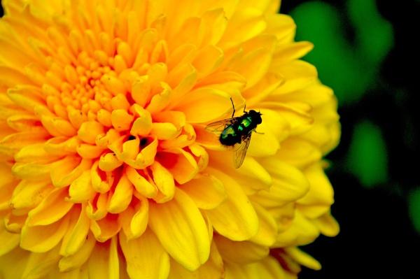 Fly on flower by eddiemat