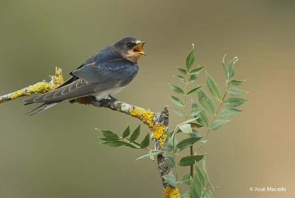 Swallow (Hirundo rustica) by lord_macedo