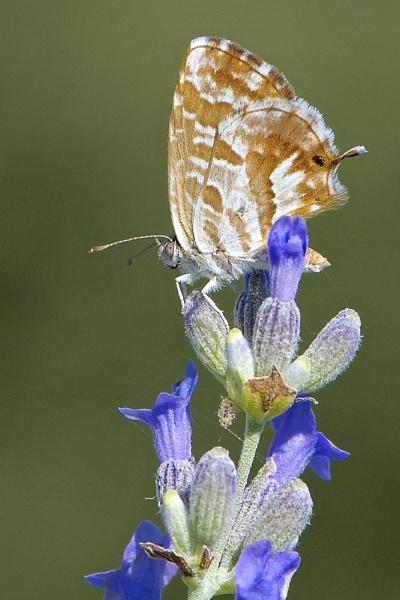 Cacyreus marshalli by alcontu