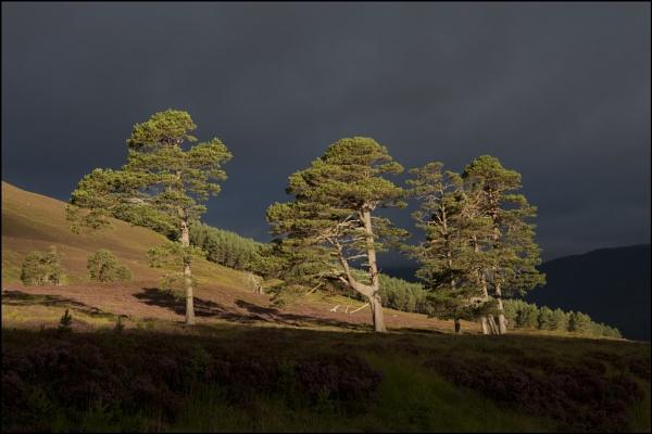 Caledonian Pine by yemtrav