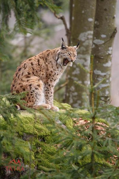 Lynx yawning by TatraPhotography