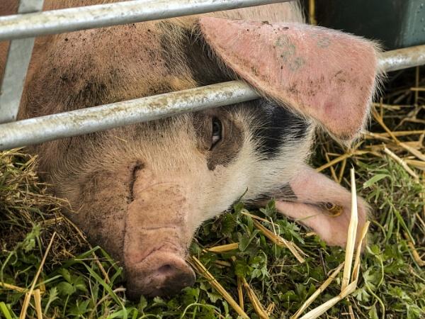 Happy Pig by AlanWillis