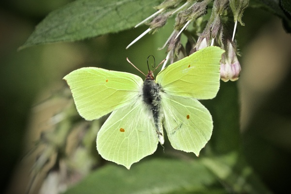 The beautiful Brimstone butterfly - topside! by cheddar-caveman