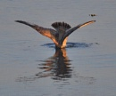 Gull Diving by Eastlands