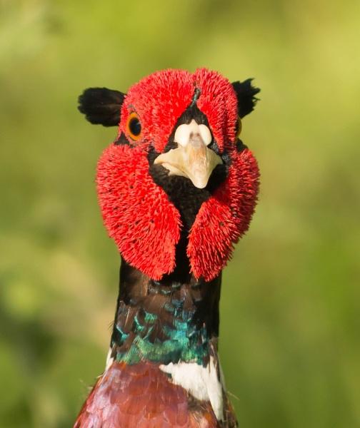 Pheasant by gary1966