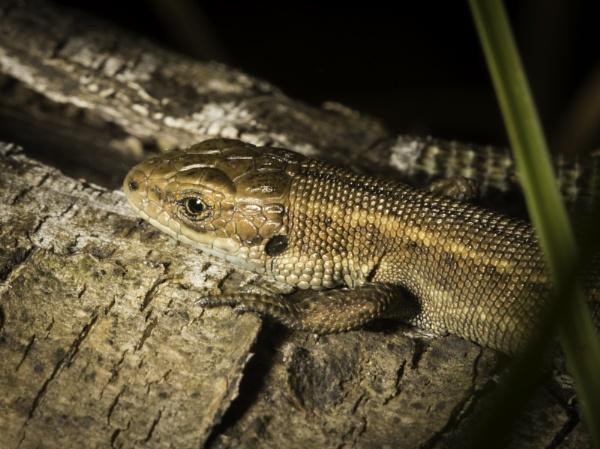 Common Lizard by JonnyNI