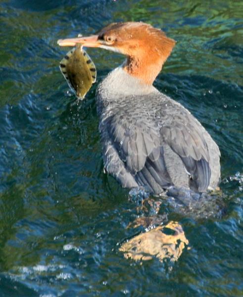 Merg &  Flounder by tonyguitar