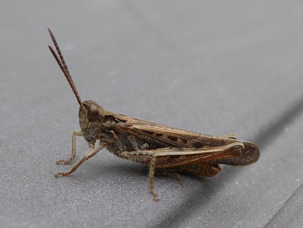 Field Grasshopper by soundlevel