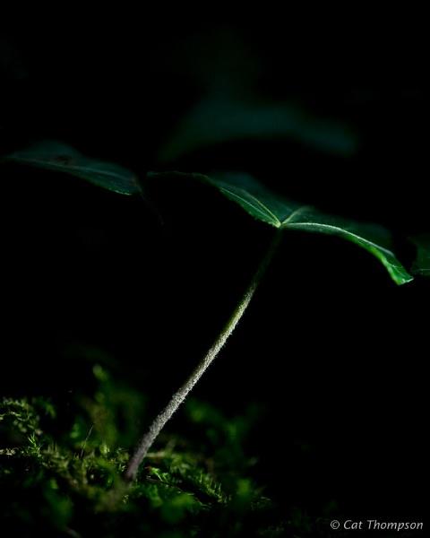 Ivy leaf by gala