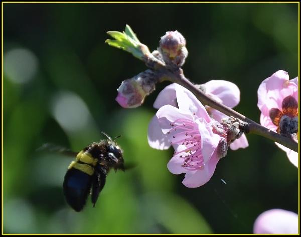 Carpenter bee by fotobee