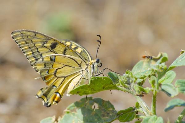 Papilio machaon by alcontu