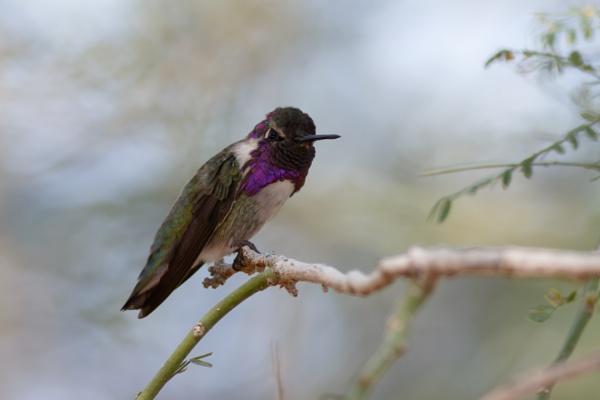 Hummingbird by nobby1