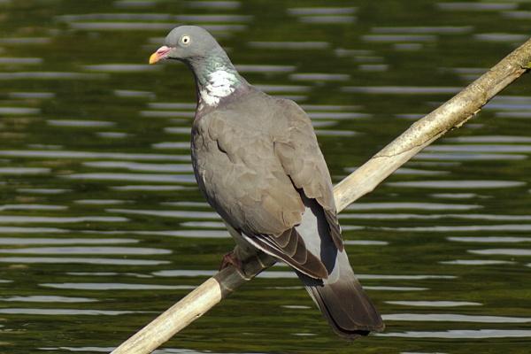 I\'m Just a Pigeon by ttiger8
