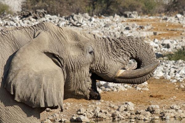 Elephant, Etosha by jinstone