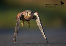 A wild Kestrel walking on stilts...