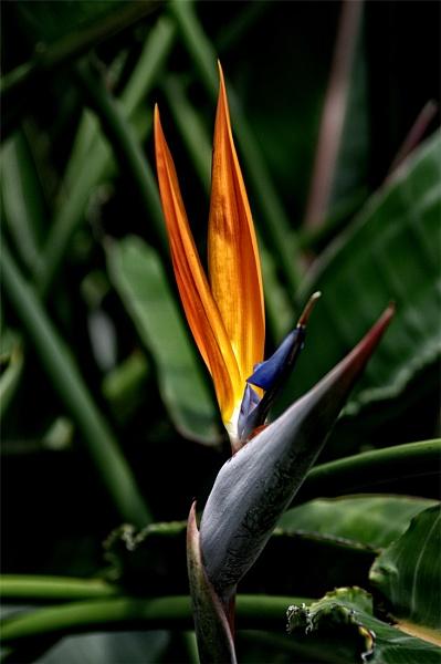 Bird of Paradise by wsteffey