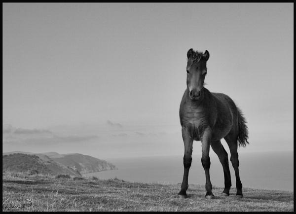 Exmoor foal by EDWARDPARRISH
