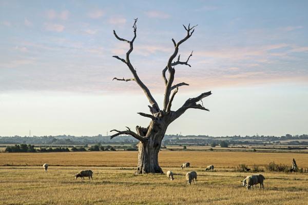 Petrified Oak Tree at Mundon (I) by DonMc
