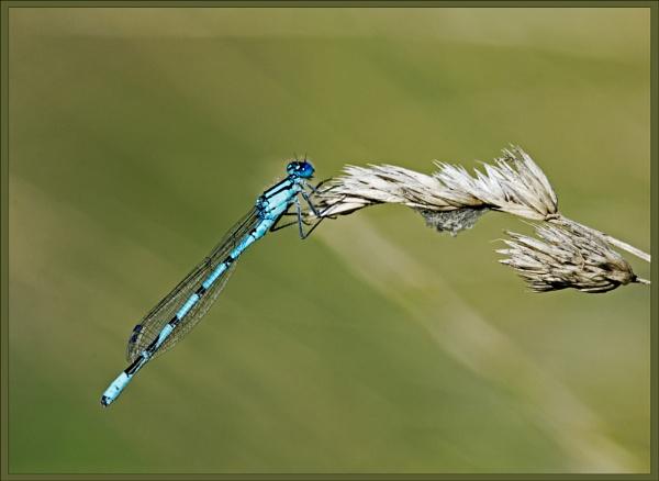 Common Blue Damselfly (Enullagma cyathigerum) (I) a by DonMc