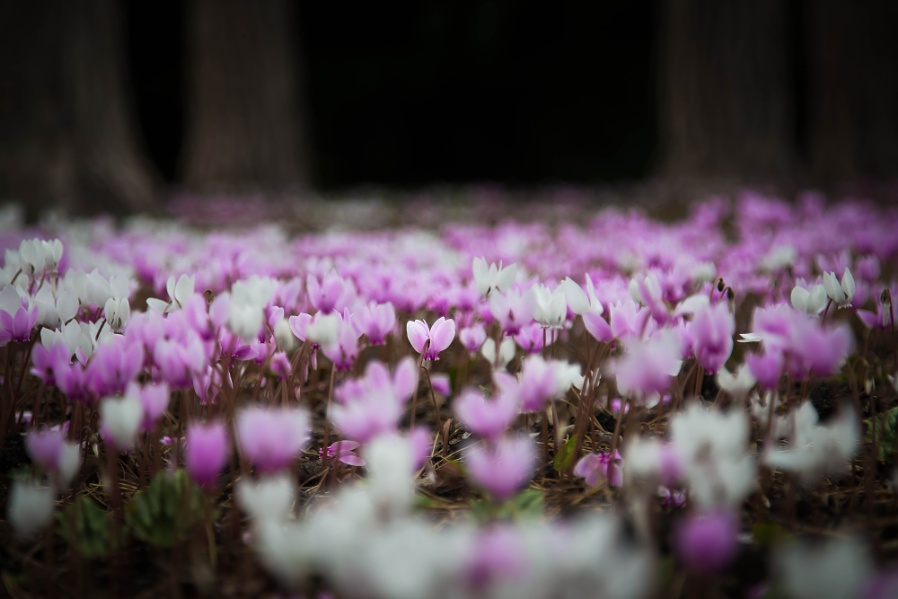 Cyclamen wood and others