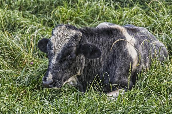 Lazy Bull by GordonLack