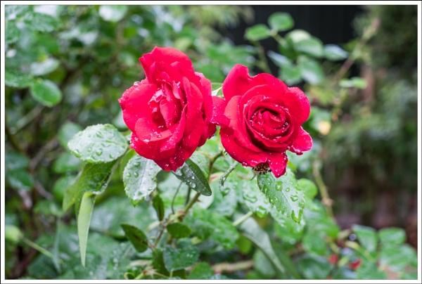 Rainy Roses by touchingportraits