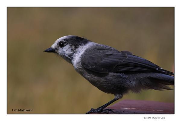 Canada Jay or Gray Jay by LizMutimer