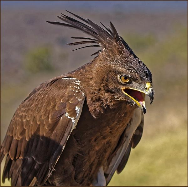 Long Crested Eagle by Burkhard