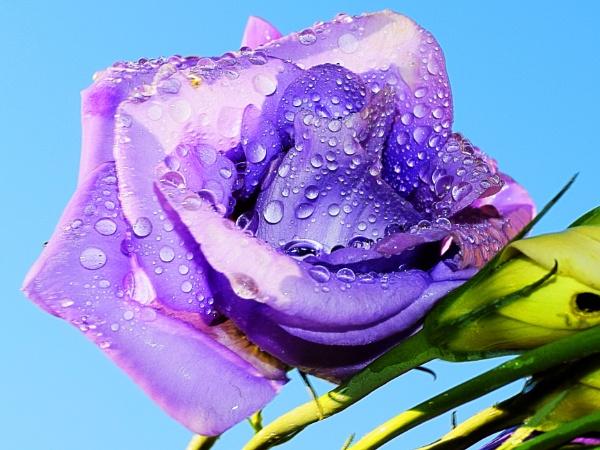 4509-purple flower by binder1