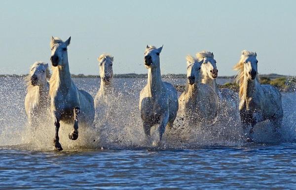 Camargue Horses again! by Holmewood