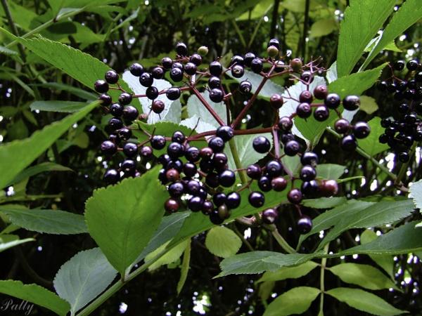 Elderberries. by pentaxpatty
