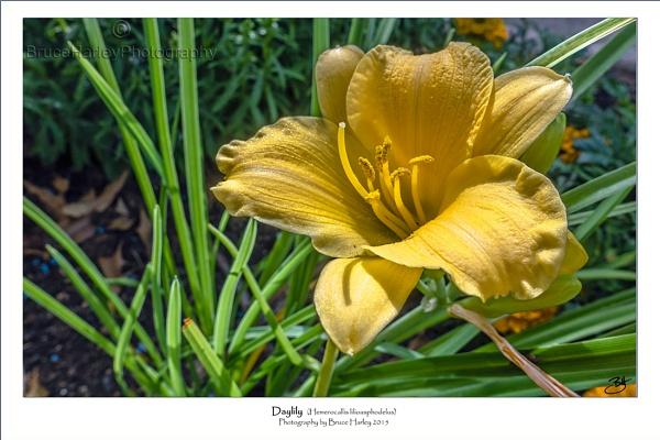 Daylily by MunroWalker